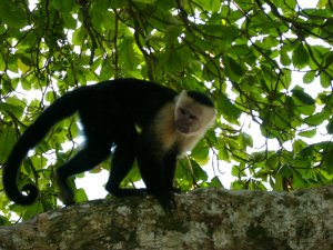 Monkey in Manuel Antonio National Park
