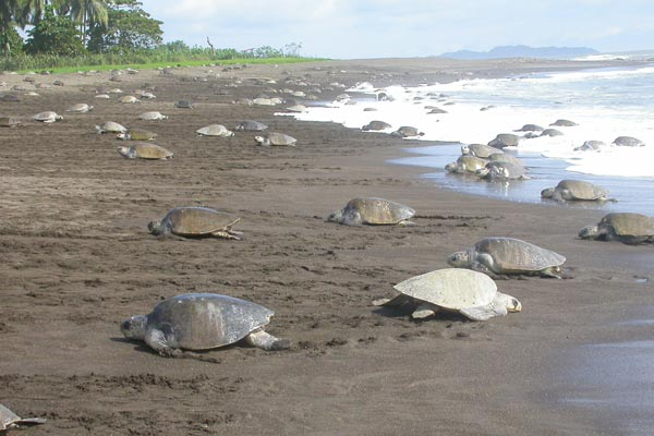 Lora Turtle nesting at Ostional, Beach, Guancaste, Costa Rica